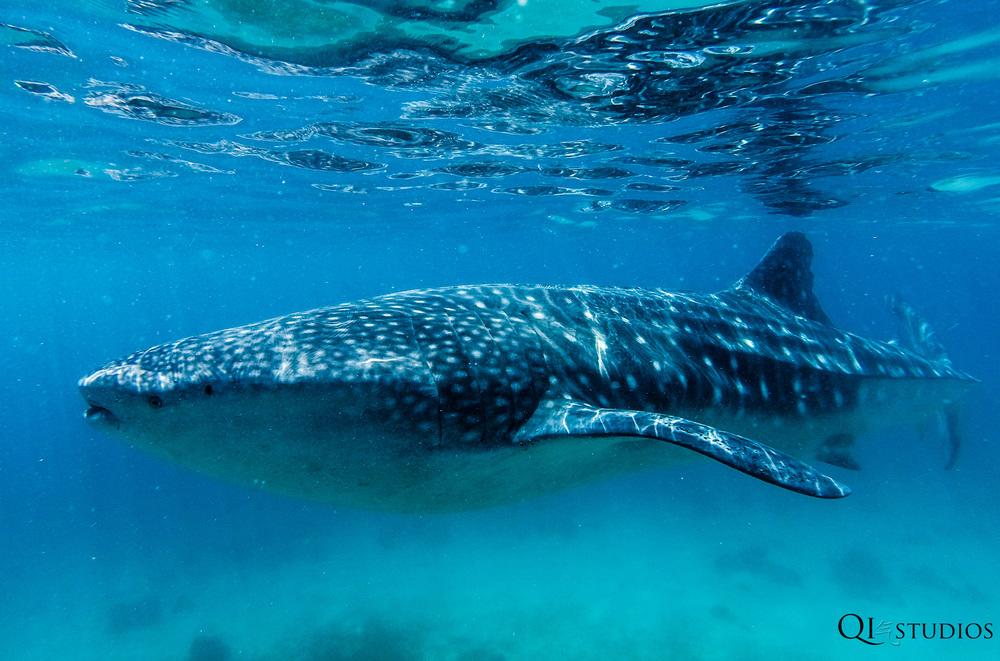 whaleshark oslob-8.jpg