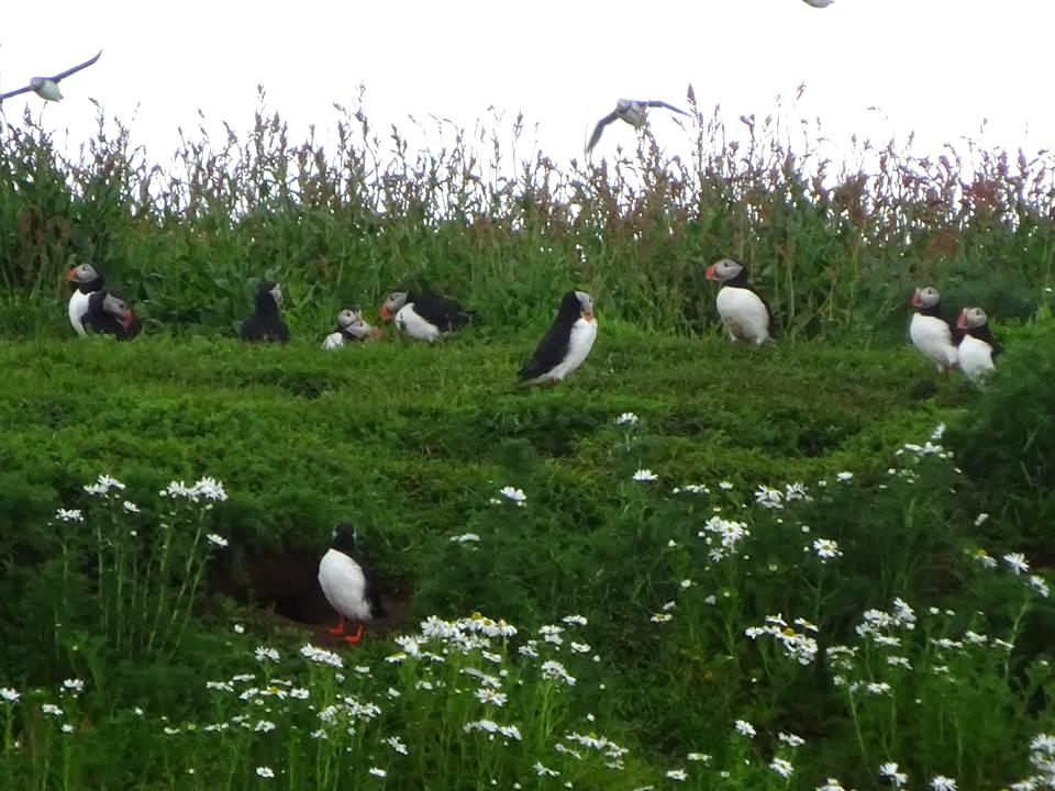 アイスランドを代表するパフィンという鳥。アイスランドの街のお土産やさんには、必ずぬいぐるみがあります。   (解説・撮影:堀牧人さん)