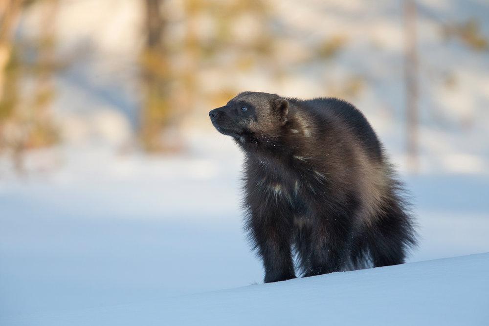Wolverine Finland