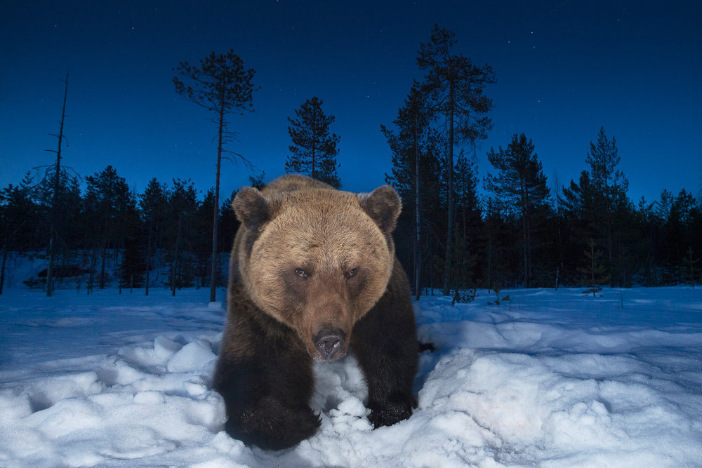 wide angle brown bear, Finland.
