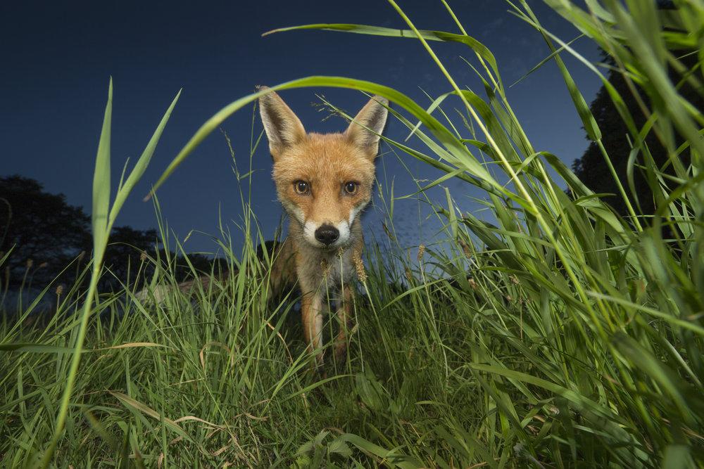 Red_Fox_