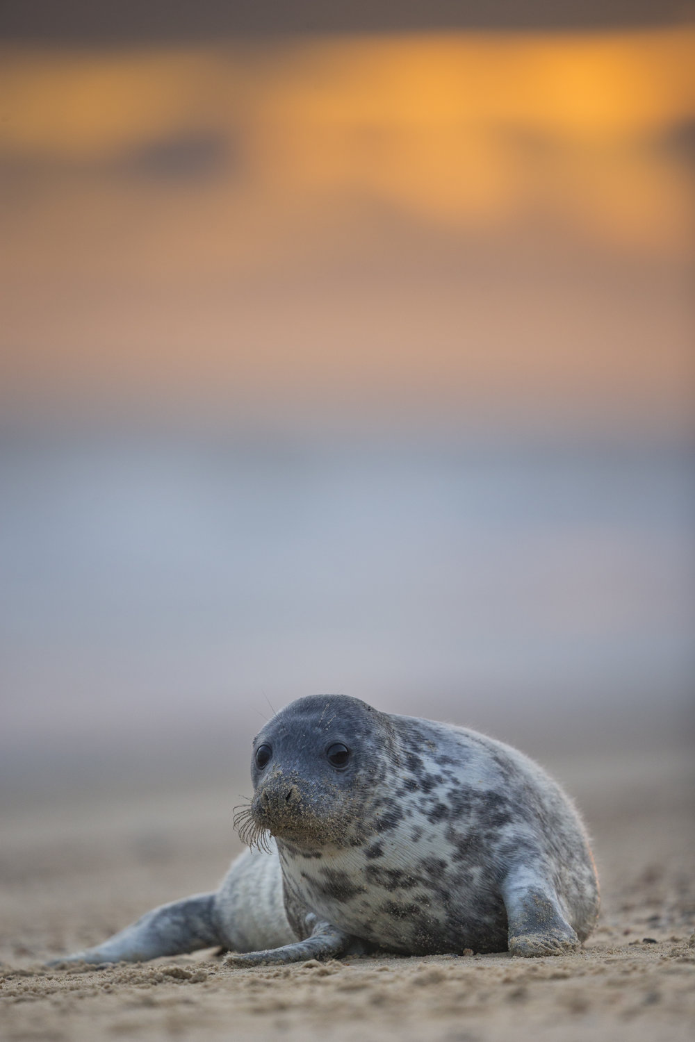 Grey_Seal_Pup_MG_0086.jpg
