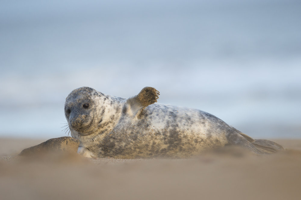 Grey_Seal_Pup_MG_0174.jpg