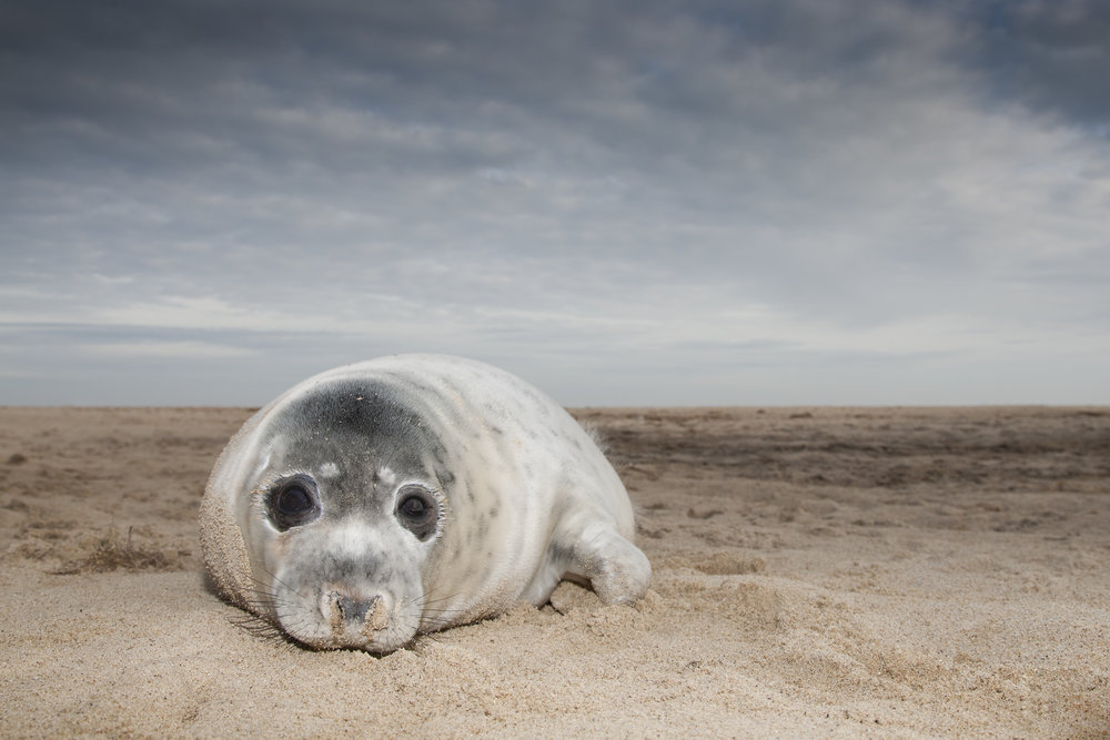 Grey_Seal_Pup_Wide (2).jpg