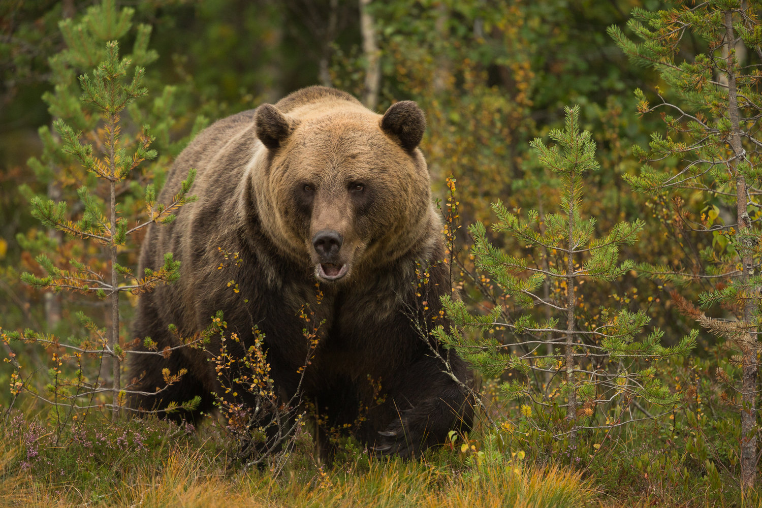 showcase gallery brown bear kyle moore photography