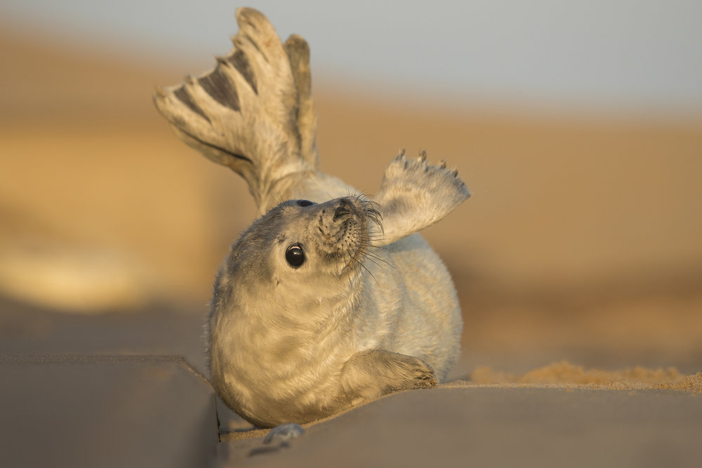 Grey_Seal_Pup_MG_0310.jpg