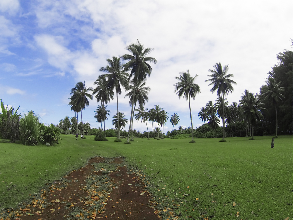 Kahanu national botanical gardens hosts some incredible native hawaiian flora, including the deadly coconut tree.