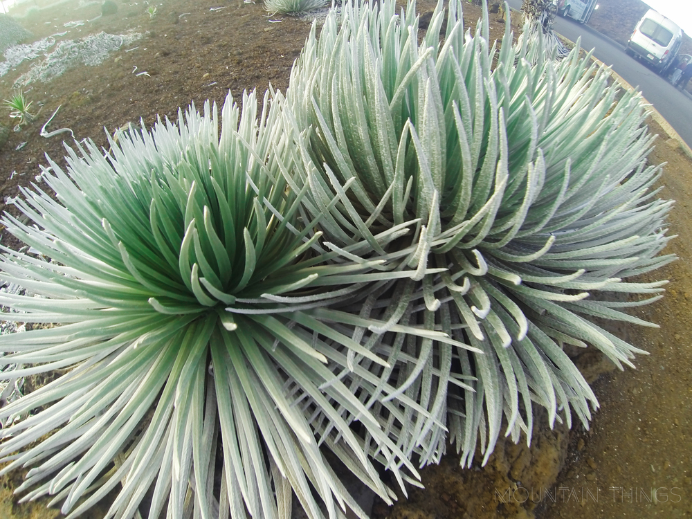 A non blooming silversword plant. the plant only grows on haleakala and nowhere else in the world.