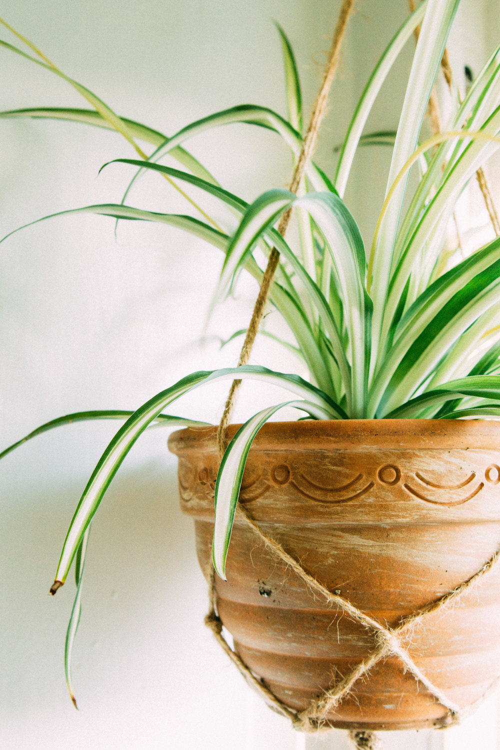 Spider Plant   Best Houseplants for Purer Air