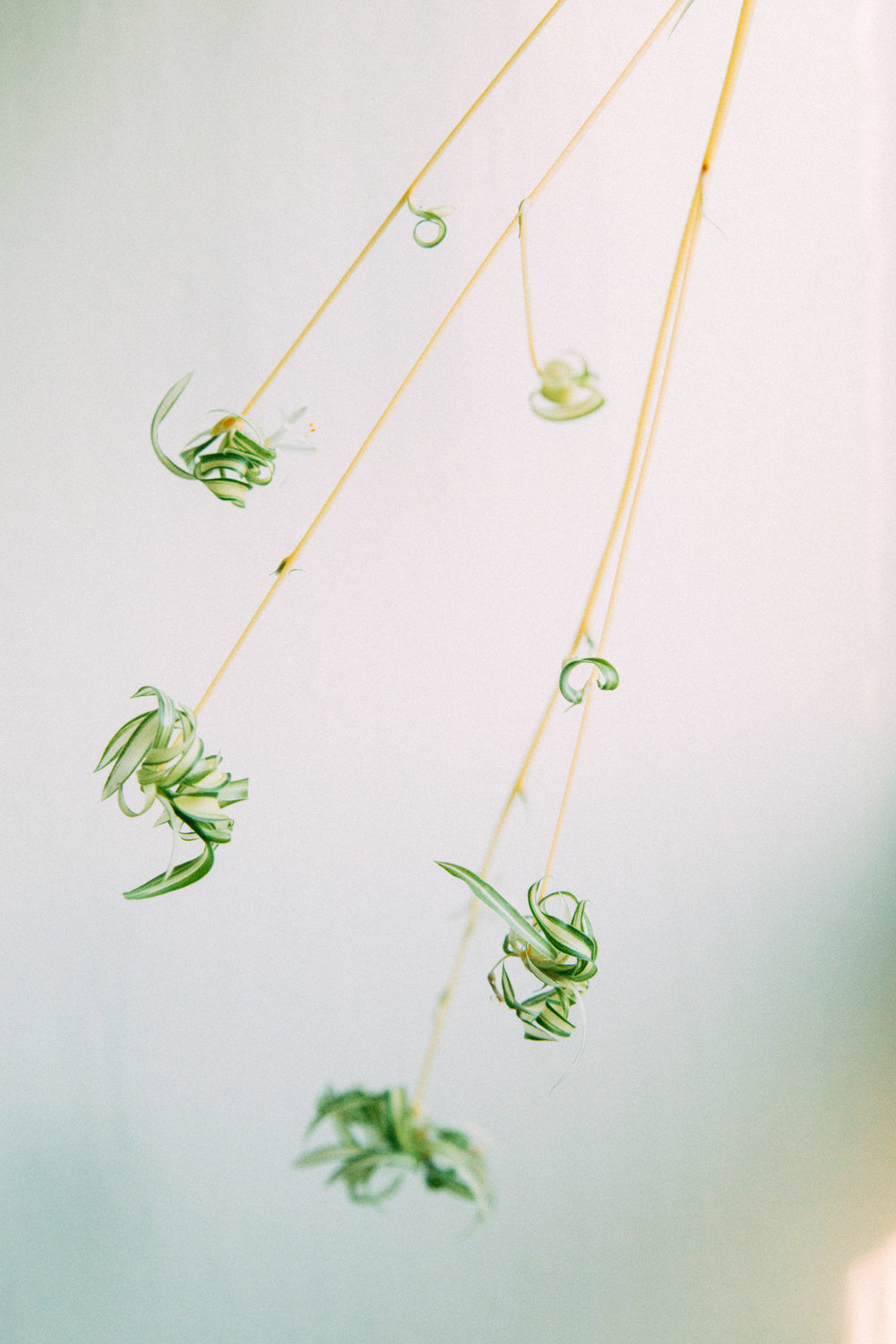 Spider Plant   Best Plants for Purer Air