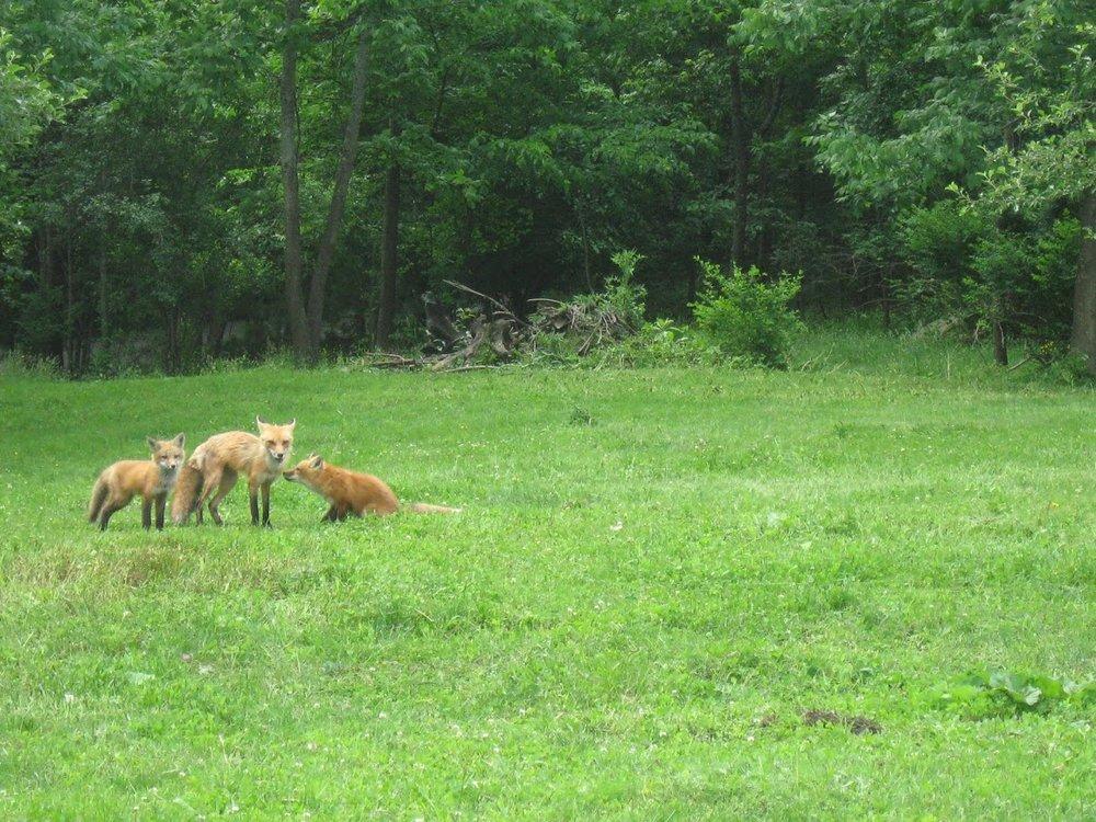 foxes 3 6.12.JPG