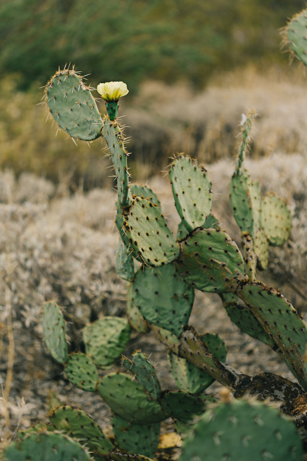 CindyGiovagnoli_Saguaro_National_Park_Arizona_desert_cactus_bloom_flowers-007.jpg