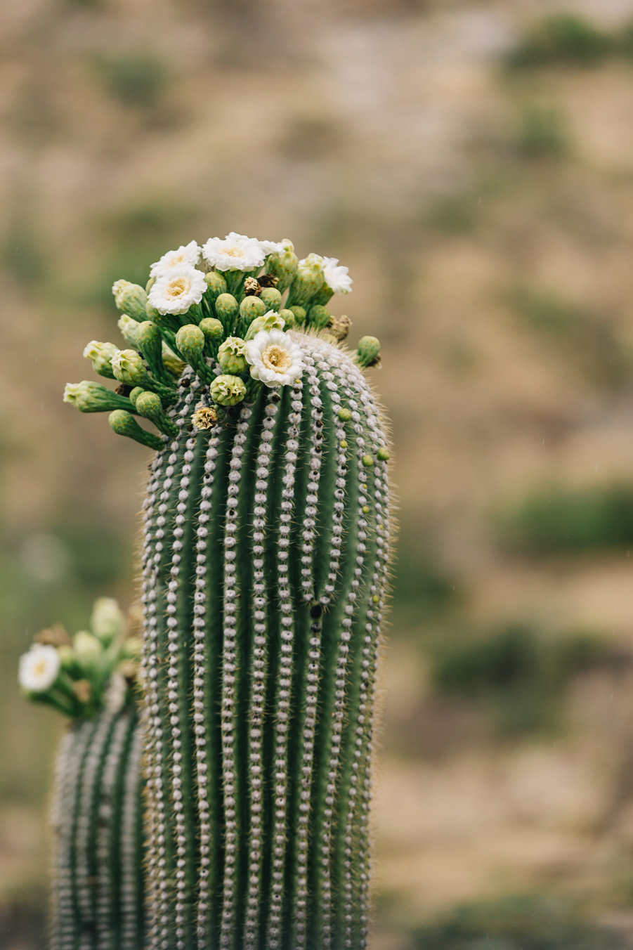 CindyGiovagnoli_Saguaro_National_Park_Arizona_desert_cactus_bloom_flowers-014.jpg