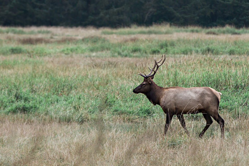CindyGiovagnoli_Redwoods_National_Park_Whiskeytown_Reservoir_Pacific_Ocean_elk-042.jpg
