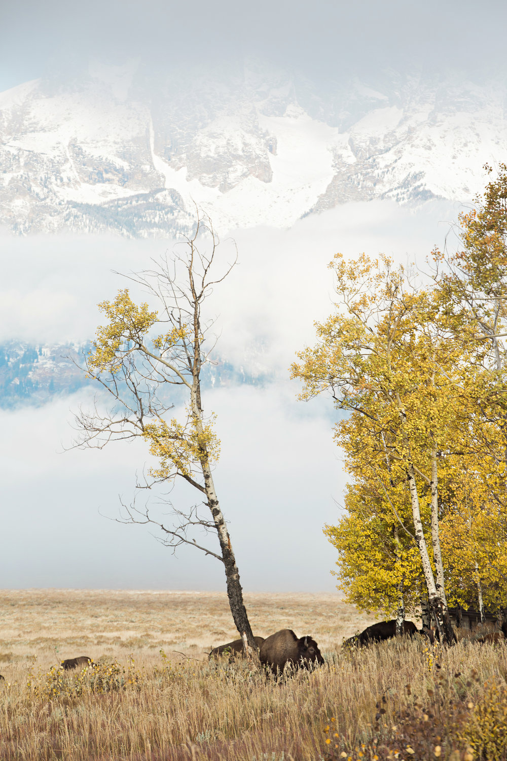 CindyGiovagnoli_Grand_Teton_National_Park_mountains_Bison_Autumn_Wyoming_Mormon_Row_aspens_fall_outdoor_photographer-023.jpg