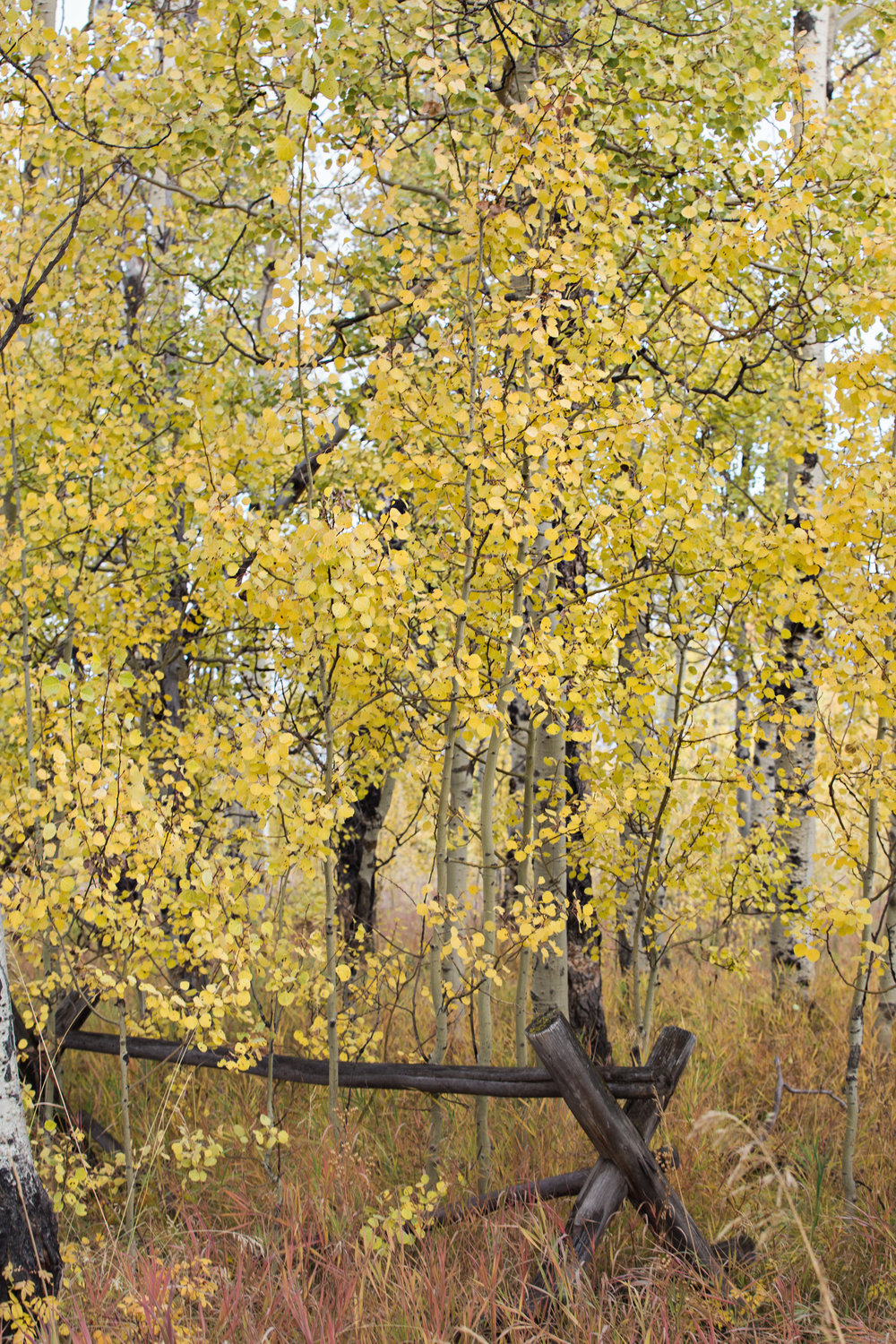 CindyGiovagnoli_Grand_Teton_National_Park_mountains_Bison_Autumn_Wyoming_Mormon_Row_aspens_fall_outdoor_photographer-040.jpg