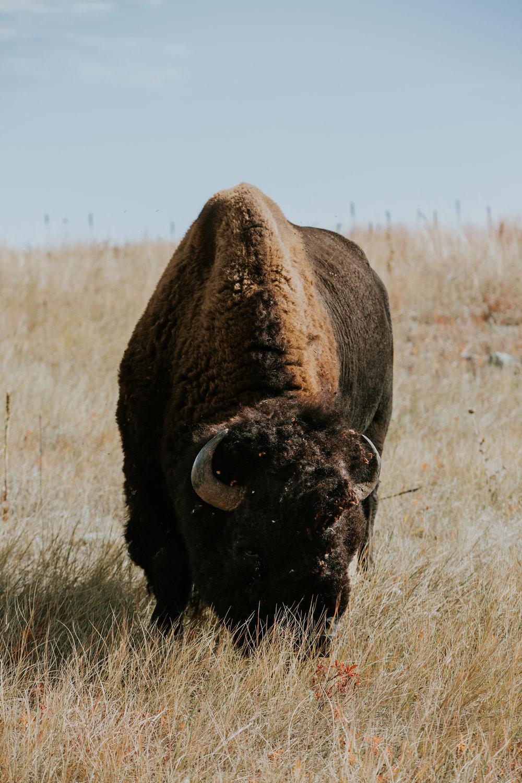 CindyGiovagnoli_South_Dakota_Wind_Cave_Badland_National_Park_Mount_Rushmore_bison_pronghorn_hiking_prairie-006.jpg