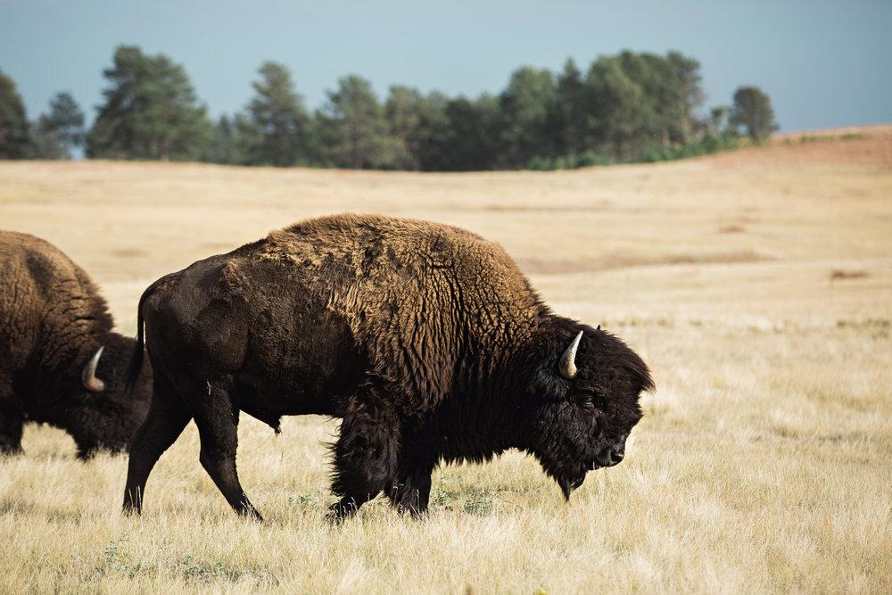 CindyGiovagnoli_South_Dakota_Wind_Cave_Badland_National_Park_Mount_Rushmore_bison_pronghorn_hiking_prairie-013.jpg