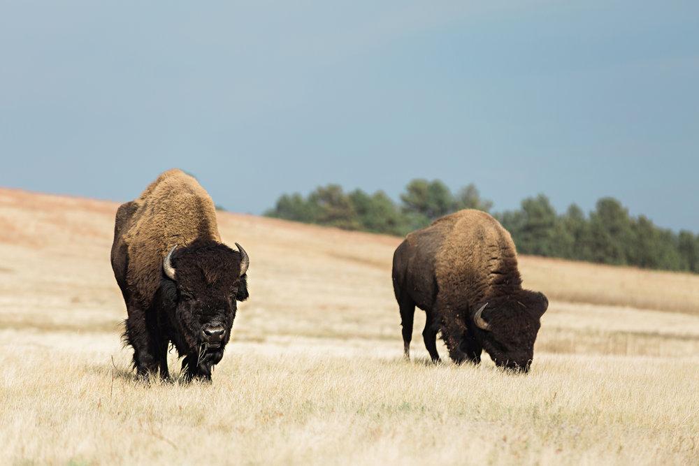 CindyGiovagnoli_South_Dakota_Wind_Cave_Badland_National_Park_Mount_Rushmore_bison_pronghorn_hiking_prairie-015.jpg