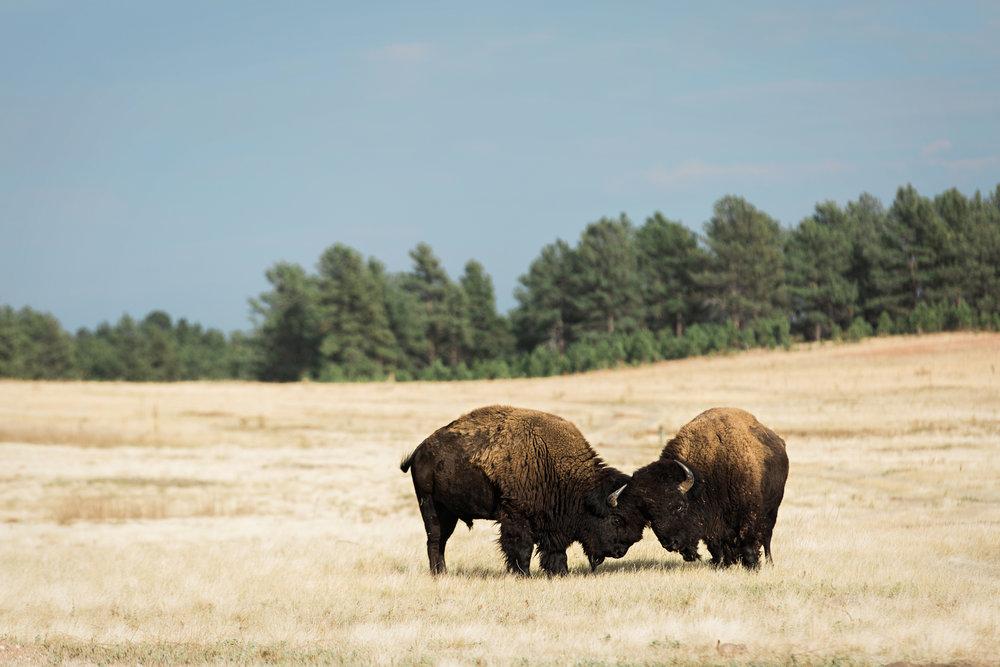 CindyGiovagnoli_South_Dakota_Wind_Cave_Badland_National_Park_Mount_Rushmore_bison_pronghorn_hiking_prairie-019.jpg