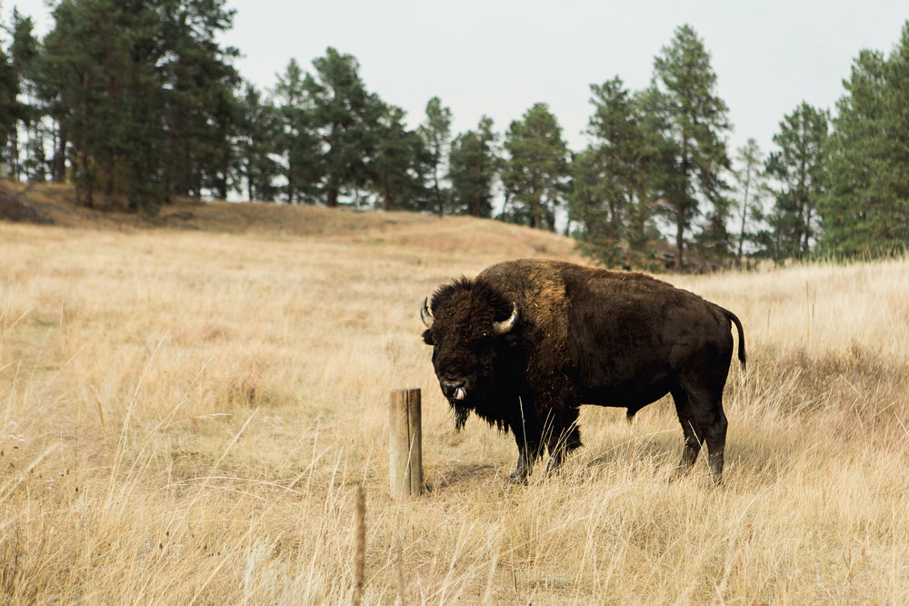 CindyGiovagnoli_South_Dakota_Wind_Cave_Badland_National_Park_Mount_Rushmore_bison_pronghorn_hiking_prairie-023.jpg