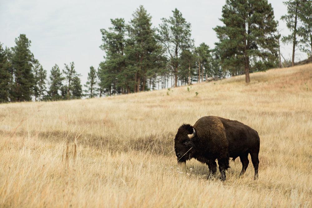 CindyGiovagnoli_South_Dakota_Wind_Cave_Badland_National_Park_Mount_Rushmore_bison_pronghorn_hiking_prairie-025.jpg