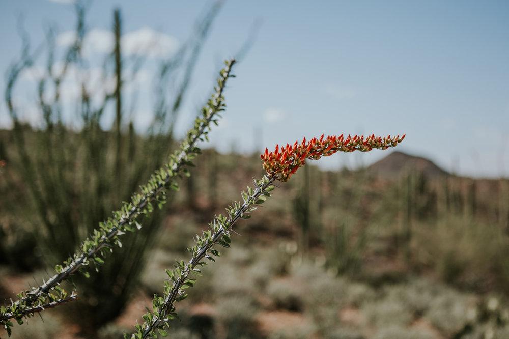 CindyGiovagnoli_Tucson_Arizona_MtLemmon_camping_Saguaro_desert_ocotillo-018.jpg