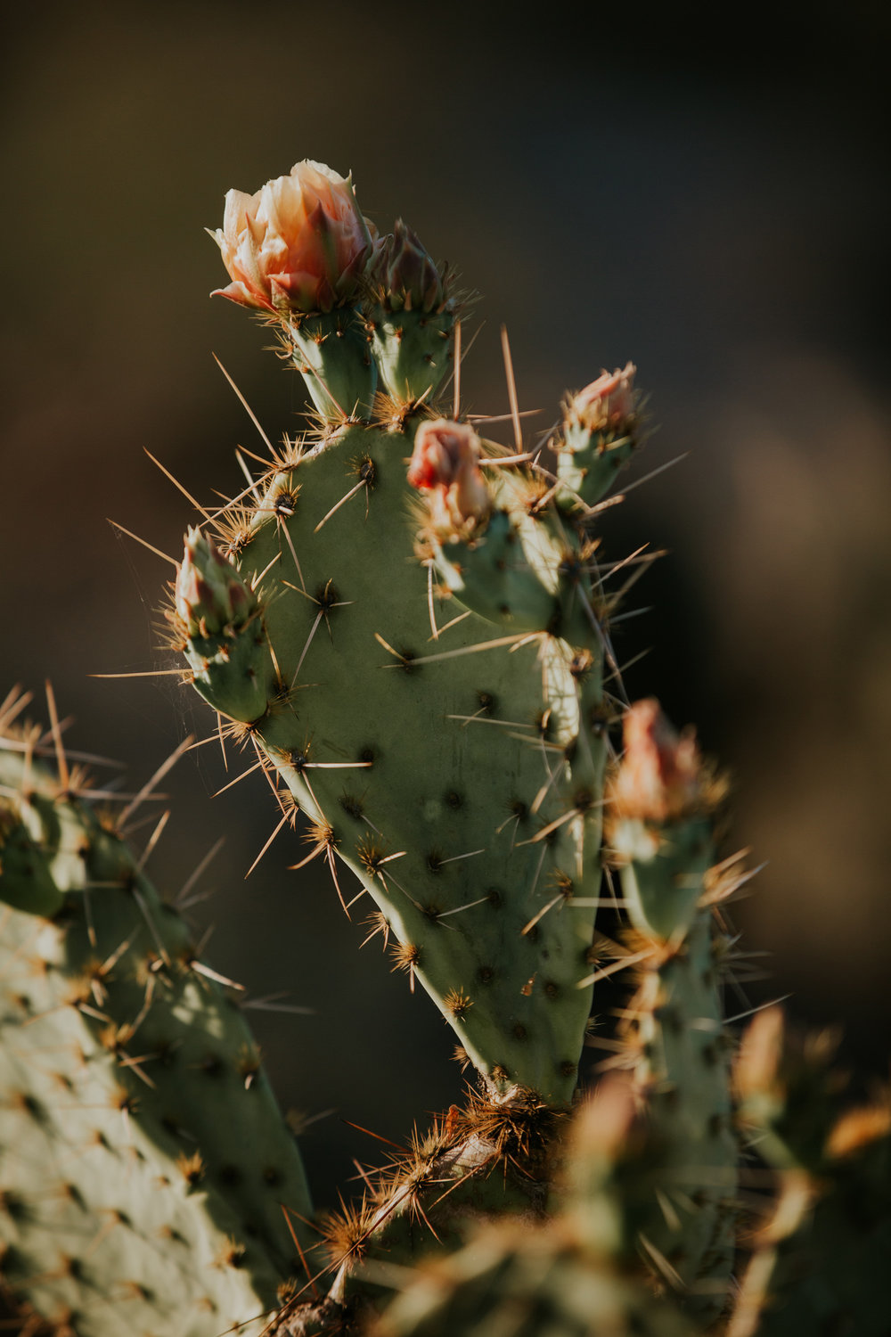CindyGiovagnoli_Tucson_Arizona_Saguaro_National_Park_cactus_sunset_blooming_spring_sunset_petroglyphs_Native_American_indigenous-003.jpg