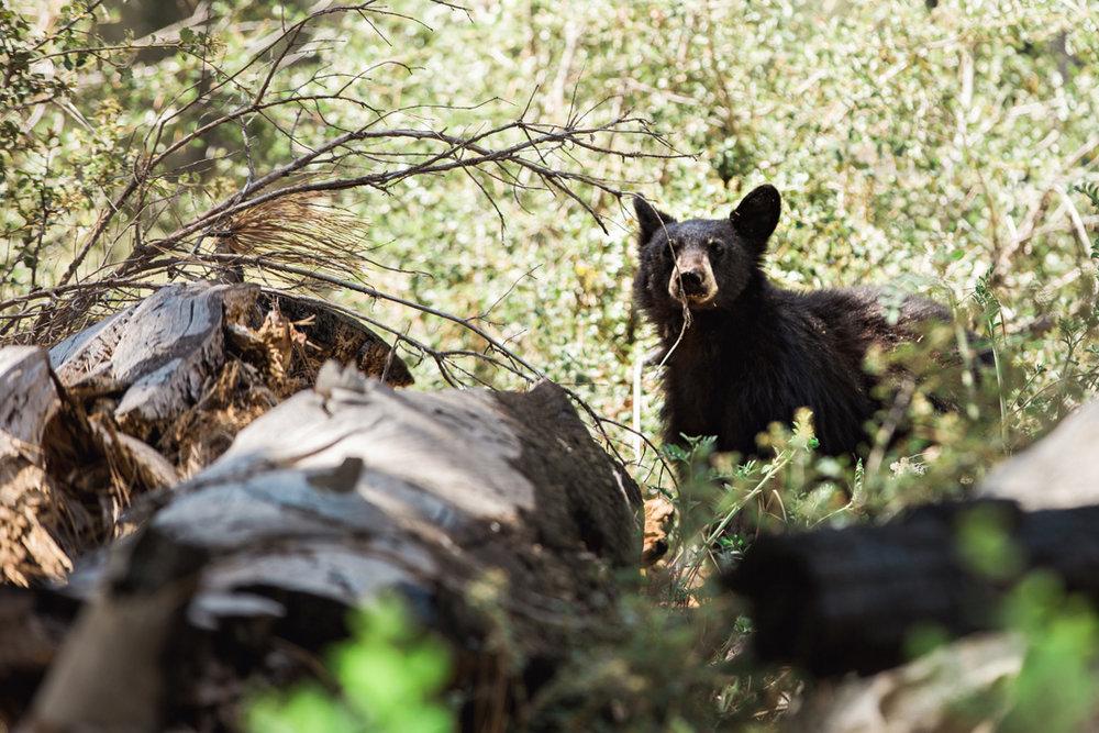 CindyGiovagnoli_Sequoia_Kings_Canyon_National_Park_California_bear_camping_roadtrip_travel-009.jpg