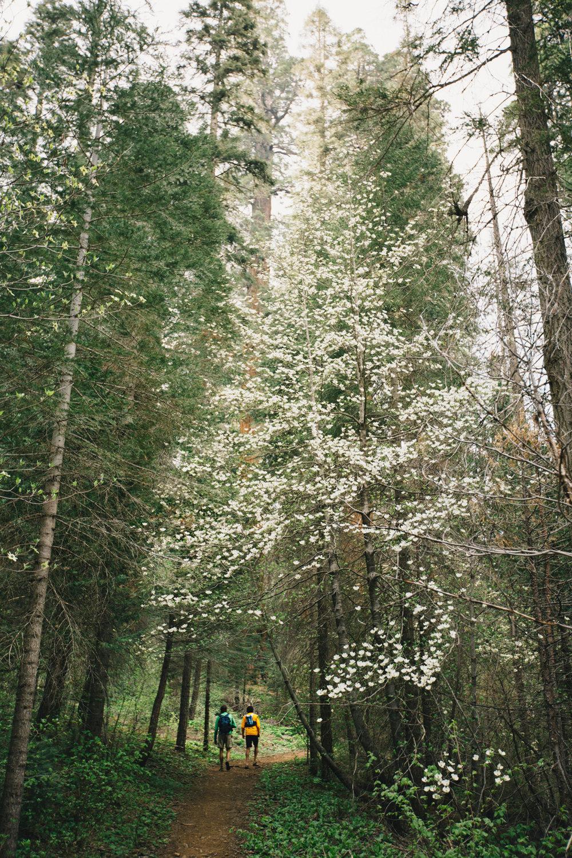 CindyGiovagnoli_Sequoia_Kings_Canyon_National_Park_spring_hiking_dogwood-003.jpg