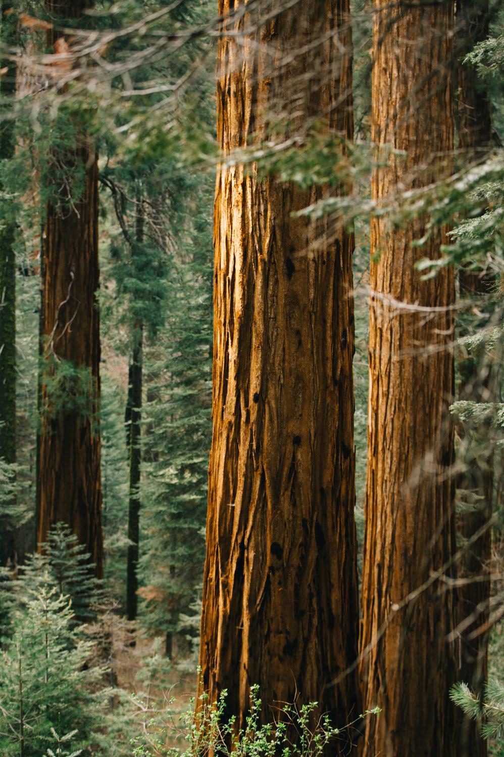 CindyGiovagnoli_Sequoia_Kings_Canyon_National_Park_spring_hiking_dogwood-004.jpg