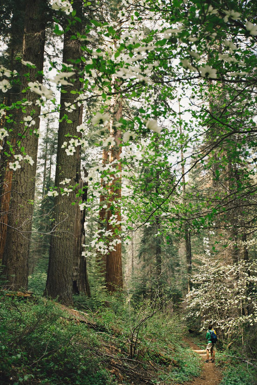 CindyGiovagnoli_Sequoia_Kings_Canyon_National_Park_spring_hiking_dogwood-021.jpg