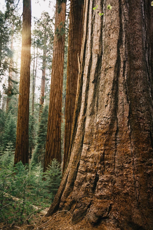 CindyGiovagnoli_Sequoia_Kings_Canyon_National_Park_spring_hiking_dogwood-020.jpg