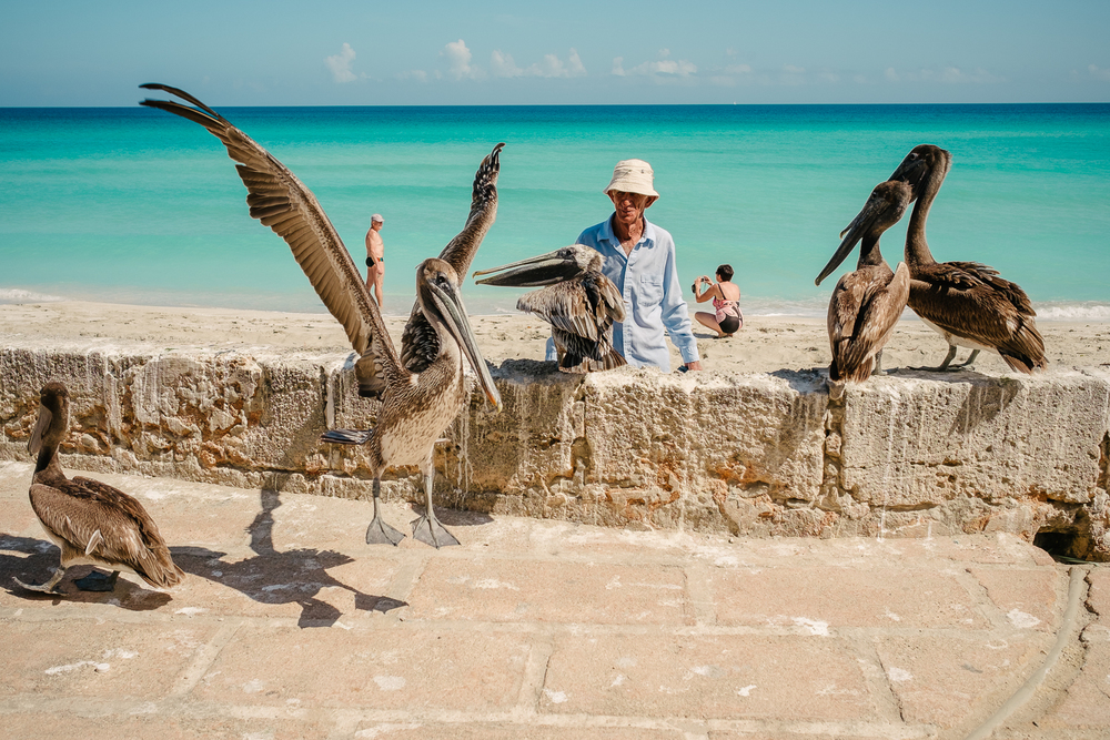 Man feeding pelicans on the beach in front of Al Capone's house in Varadero, Cuba 2015.