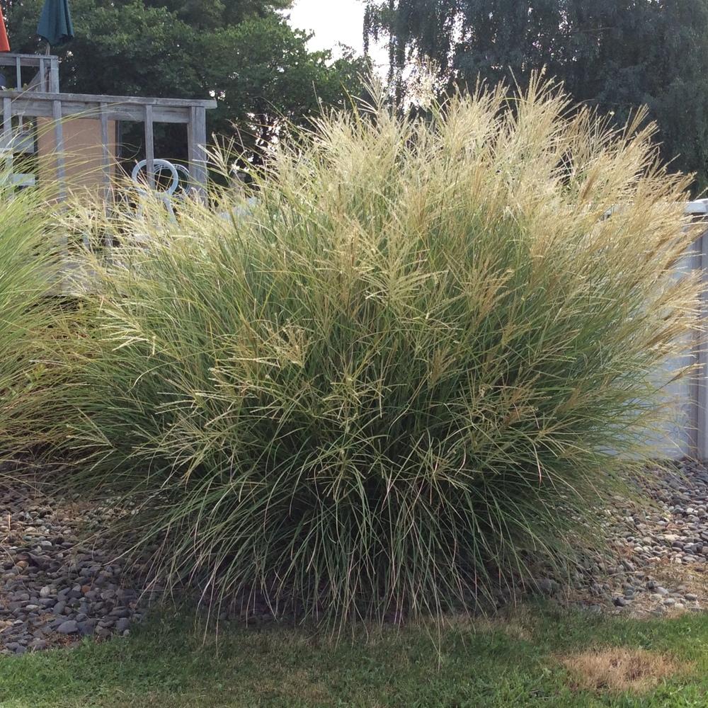Agagio Maiden Grass