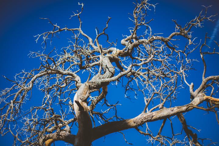 JOSHUA_TREE_9