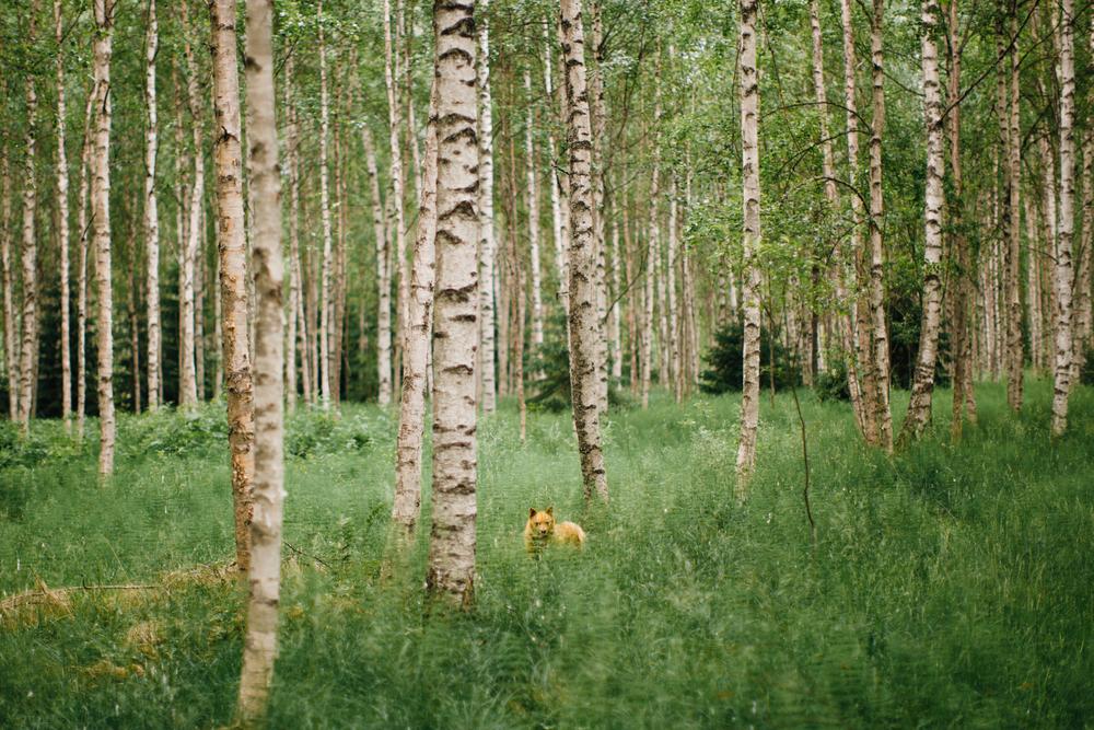 FINLAND-Birch Forest.jpg