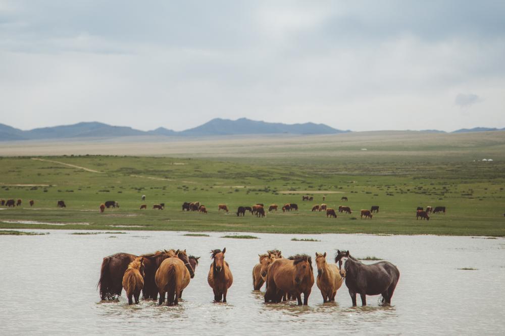 MONGOLIA-Horses.jpg