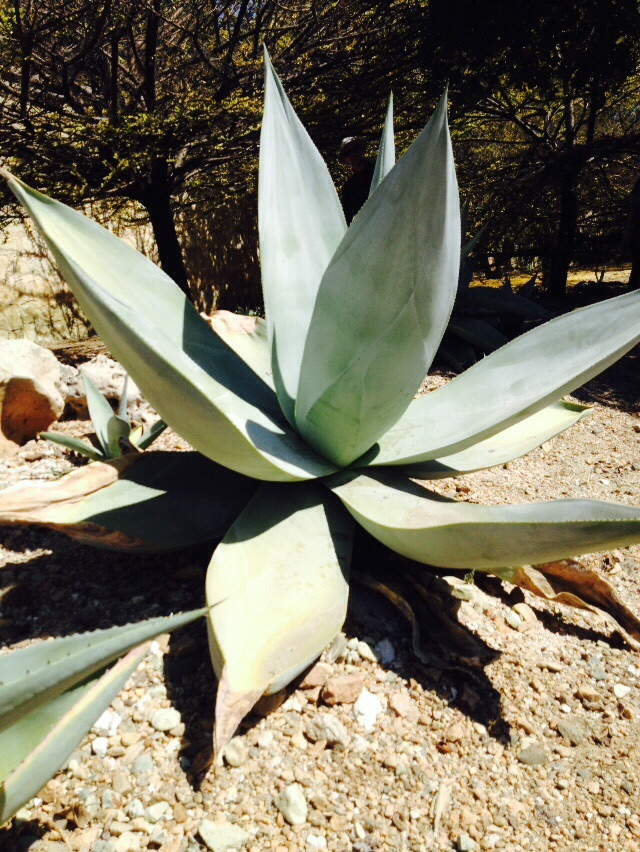 Agave, mother of mezcal and tequila.
