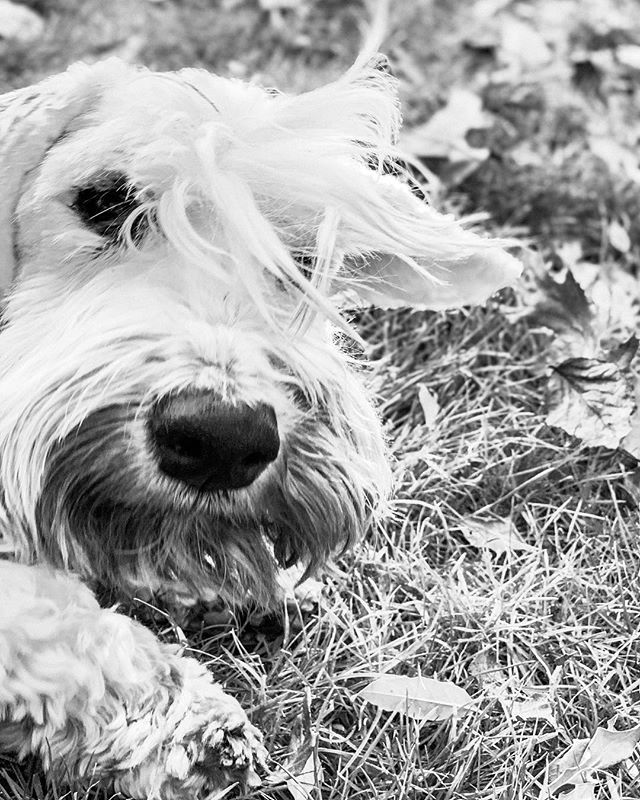 Logan's whispy glamour shot for the cover of Senior Sealys Quarterly . . . #sealyham #sealyhamterrier #sealyhamsofinstagram #olddogsrule