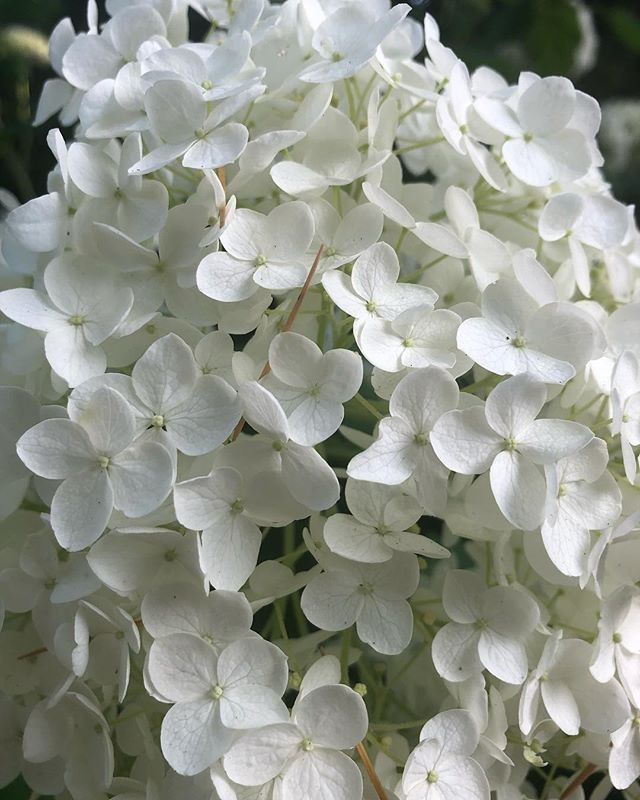 White Hydrangea on mass at Tupare this morning.  On closer inspection the single florets were as delicate as snowflakes ❄️ : : : #hydrangea #whitehydrangea #tupare #newplymouthnz #thebellabloomco #thebeautifulflowercompany #abiafloraldesignerofdreams2017 #abiafloraldesignerofdreams2018 #flowerloversdelight #snowflakes #brisbaneweddingflorist #weddingfloristbrisbane