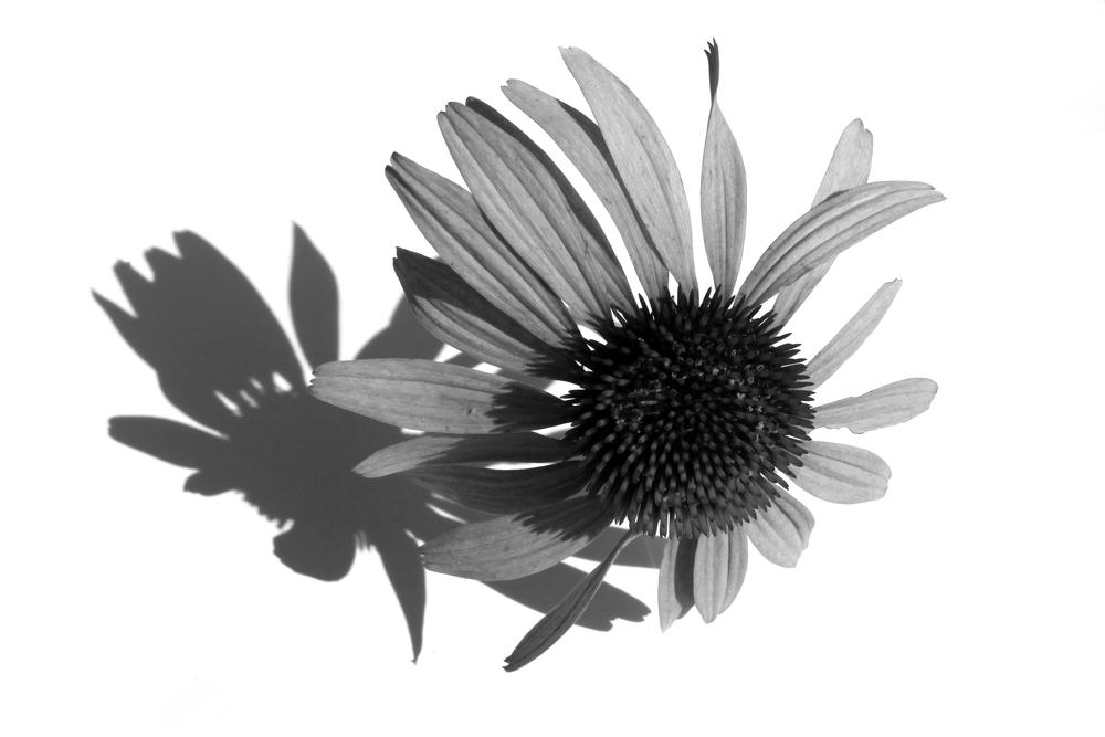 cone flower2.jpg