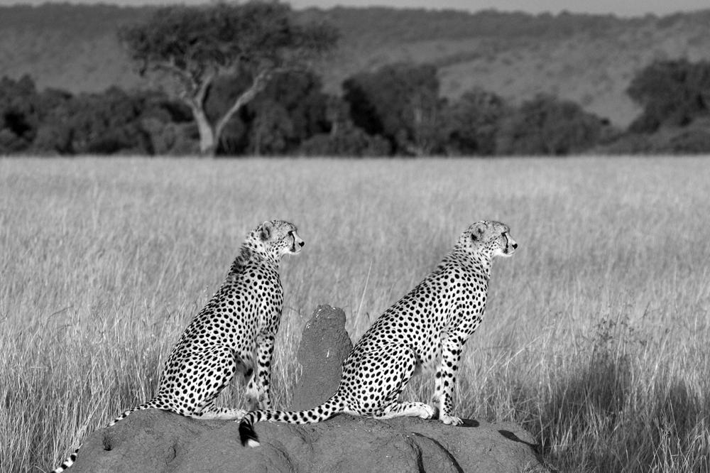 2 cheetahs B&W.jpg
