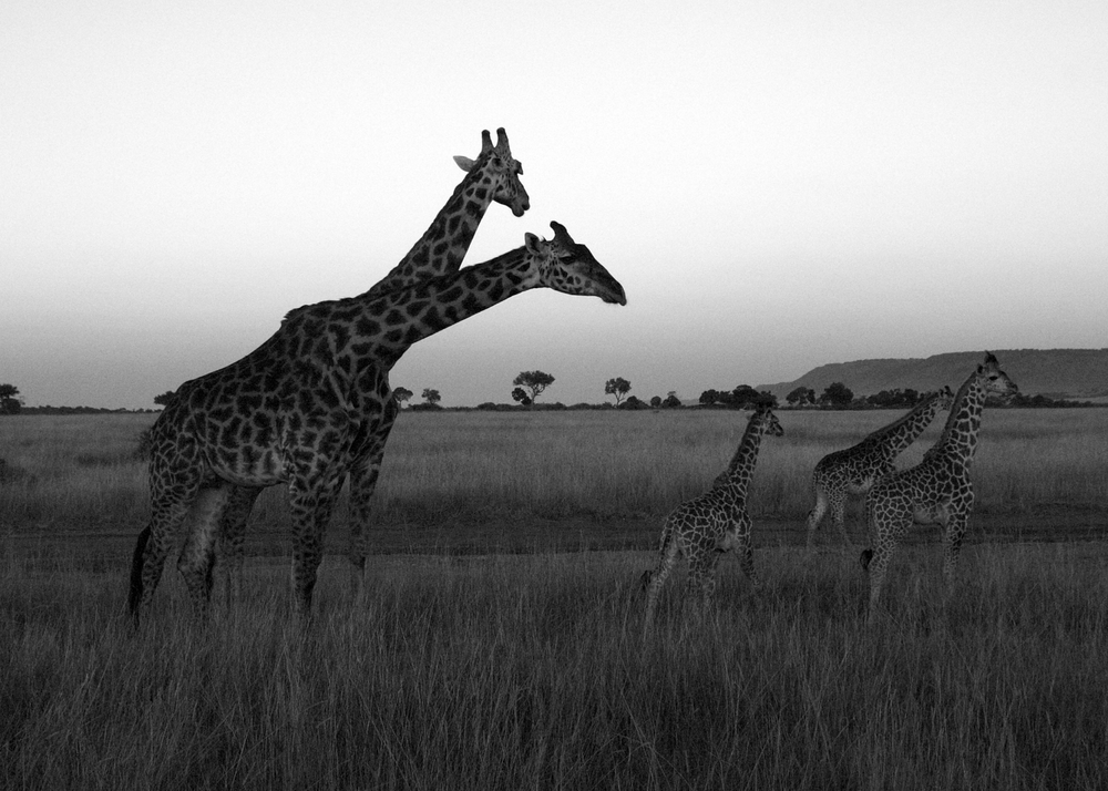 giraffes at sun rise B&W.jpg