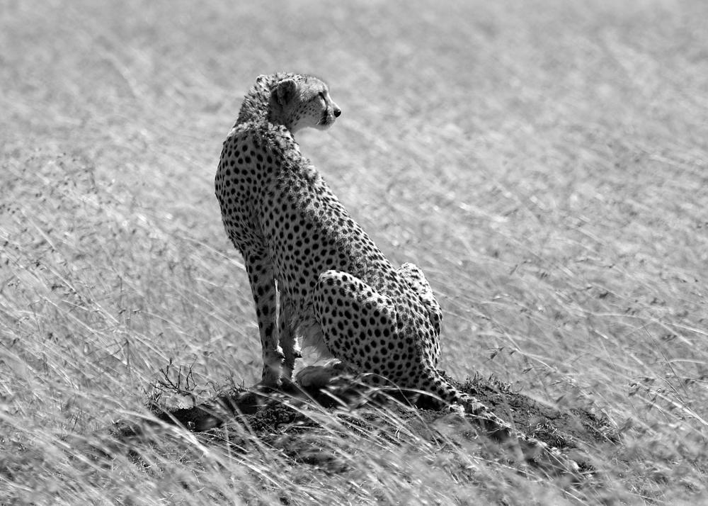 cheetah B&W.jpg