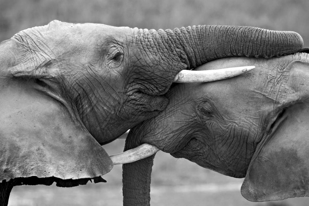 young elephants hug-b&w2.jpg