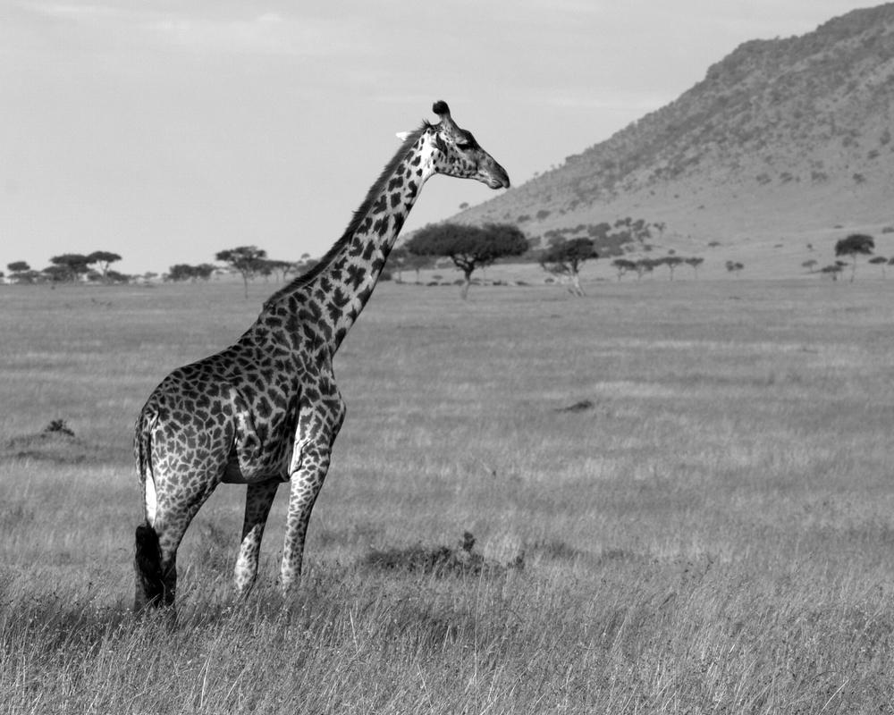 giraffe b&w.jpg