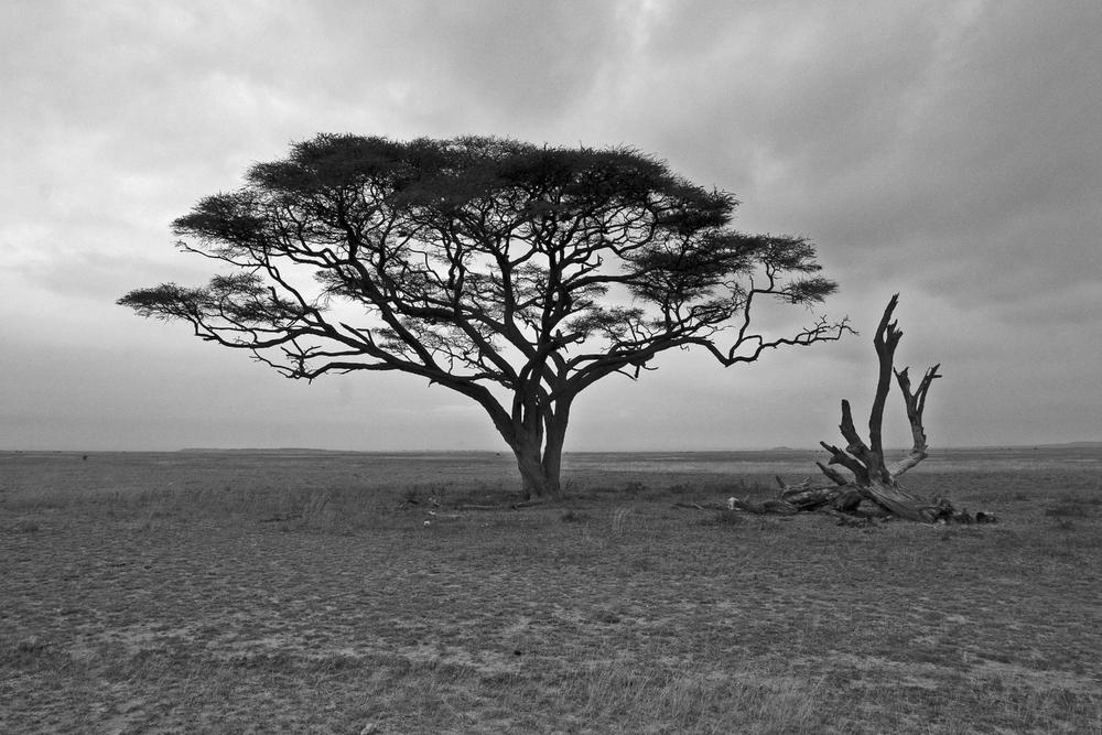 acia tree2.jpg