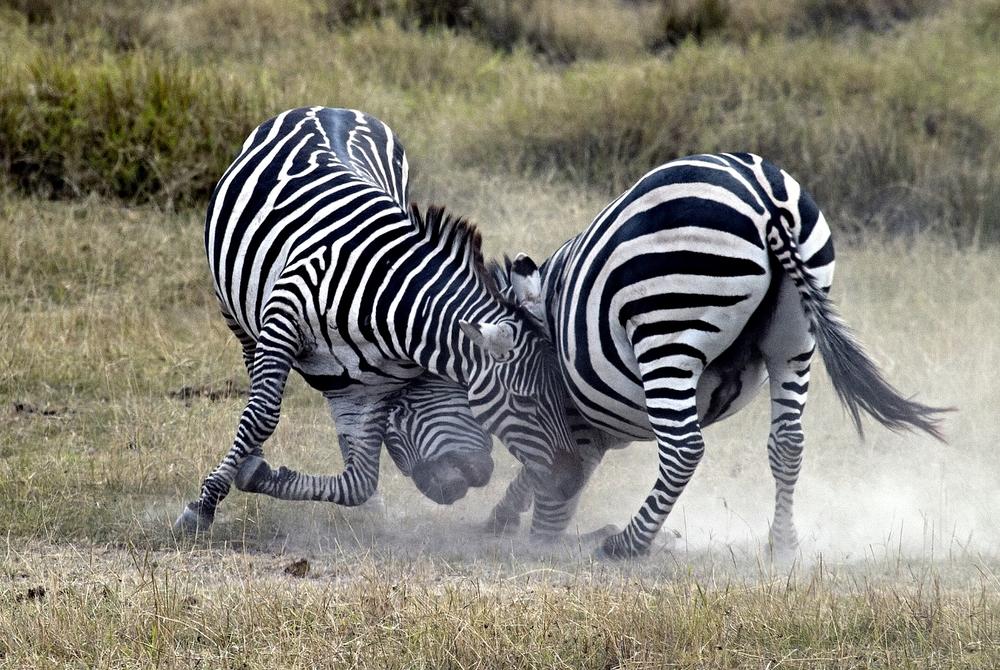 zebras play.jpg