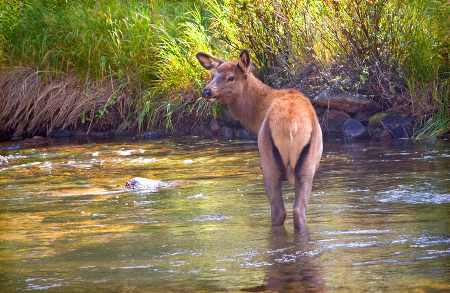 elk-calf-in-the-creek-0826-66.jpg